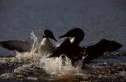 T J Dunn Photography   Loons In Fight