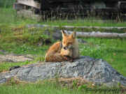 Fox On The Rock